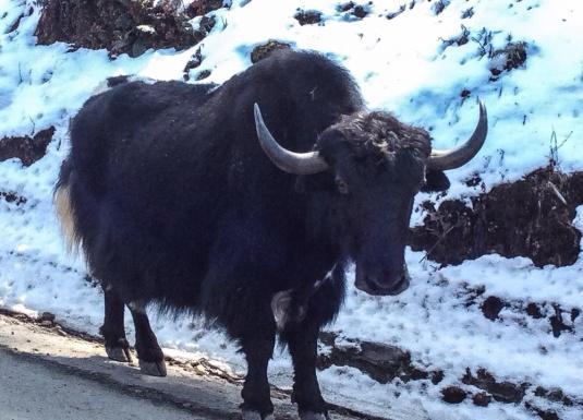 Snow yak